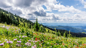 Helleboris、山(叶茂盛)翠菊和印地安画笔在高高山开花 库存照片