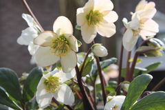 Helleboris в цветени в солнце Стоковое фото RF