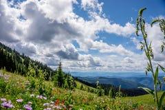 Helleboris, escova de pintura indiana, áster da montanha e outras flores alpinas Fotos de Stock Royalty Free