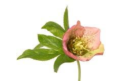 helleborus Royaltyfria Foton