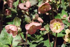 Helleborus. Also known as the december rose plant Stock Photo