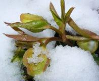 Helleborus Caucasicus de los brotes de flor debajo de la nieve Imagen de archivo
