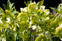 Helleborus Christmas rose Royalty Free Stock Photo