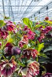 Helleborus or  Christmas rose, wither flowering garden plant, cu. Ltivated as decorative or ornamental flower, growing in greenhouse Stock Photo
