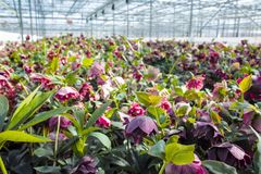 Helleborus or  Christmas rose, wither flowering garden plant, cu. Ltivated as decorative or ornamental flower, growing in greenhouse Royalty Free Stock Image