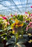 Helleborus or  Christmas rose, wither flowering garden plant, cu. Ltivated as decorative or ornamental flower, growing in greenhouse Stock Photos