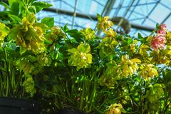 Helleborus or Christmas rose, wither flowering garden plant, cu. Ltivated as decorative or ornamental flower, growing in greenhouse Stock Photography
