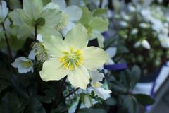 Helleborus Christmas white rose closeup. With petals and pistils royalty free stock photography