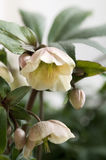 Helleborus in close up. Two beautifully white helleborus flowers opening up in springtime Stock Photos