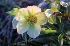 Helleborus dans le jardin organique En dépit des noms tels que l'hiver s'est levé, Noël a monté et des hellebores roses Lenten ne images libres de droits