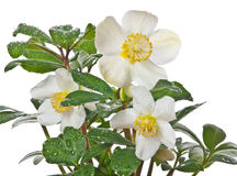 Helleborus the first spring flower. With rain drops Royalty Free Stock Photography