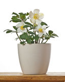 Helleborus the first spring flower in a flowerpot. On white background Royalty Free Stock Photos