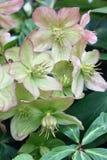 Helleborus floreciente en una vertical Foto de archivo