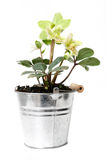 Helleborus flower. In a pot Royalty Free Stock Photography