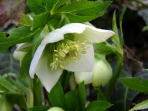 Helleborus flower. Helleborus one of the first spring flowers in the wood Stock Image