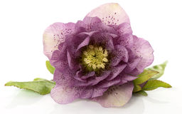 Helleborus flower. Helleborus blooming in winter flower isolated on white Stock Photos