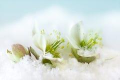 Helleborus flower in snow. Christmas rose or Helleborus flower blooming in the snow Royalty Free Stock Photos