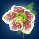 Helleborus flower. White helleborus flower with purple spots Royalty Free Stock Photography