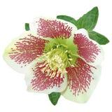 Helleborus flower. White helleborus flower with purple spots Stock Photos