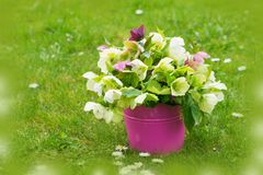 Helleborus flowers in a bucket. Helleborus flowers in a pink bucket on a spring flower meadow Royalty Free Stock Image
