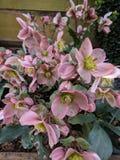 Helleborus. Flowers in full bloom, spring time Stock Photos