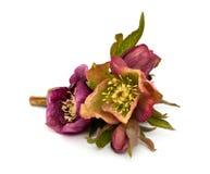 Helleborus flowers. Isolated on white background Royalty Free Stock Photo