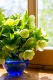 Helleborus flowers on the window. Helleborus flowers in the vase on the window Royalty Free Stock Image