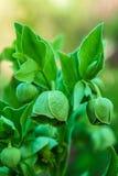 Helleborus foetidus, Bears foot. Helleborus foetidus - green Stinking Hellebore flowers Stock Images