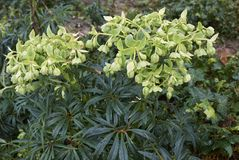 Helleborus foetidus plant. With pale green inflorescence Stock Photography