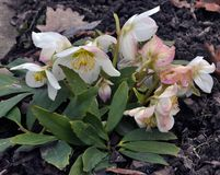 Frosty flowers of Helleborus. Helleborus - frost-resistant flowers that grow in soil and bloom at the end of winter Royalty Free Stock Photography