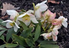 Frosty flowers of Helleborus. Helleborus - frost-resistant flowers that grow in soil and bloom at the end of winter Stock Photos