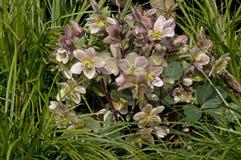 Helleborus in a garden. Helleborus a beautiful perrenial flower in a garden Stock Photo