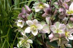 Helleborus in a garden. Helleborus a beautiful perrenial flower in a garden Stock Images
