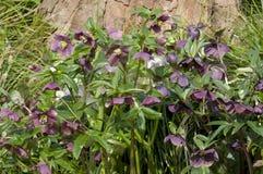 Helleborus in a garden. Helleborus a beautiful perrenial flower in a garden Royalty Free Stock Images