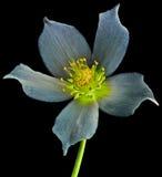 Helleborus magic flower Stock Photo