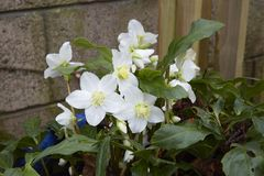 Helleborus niger. A clump of  Helleborus niger on a wet day Stock Images