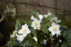 Helleborus niger. A clump of  Helleborus niger on a wet day Stock Image