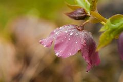 Helleborus niger. Covered in raindrops Royalty Free Stock Image