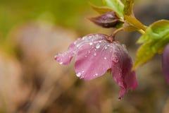 Helleborus niger Royalty Free Stock Image