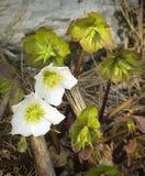 Helleborus niger subspecie macranthus Royalty Free Stock Images