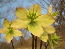 Helleborus niger subspecie macranthus Stock Images