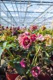 Helleborus oder Weihnachten stiegen, verwelken blühende Gartenpflanze, Cu Lizenzfreies Stockfoto