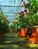 Helleborus oder Weihnachten stiegen, verwelken blühende Gartenpflanze, Cu Stockfoto