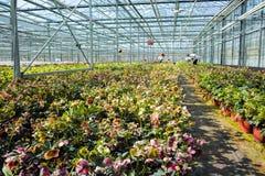 Helleborus oder Weihnachten stiegen, verwelken blühende Gartenpflanze, Cu Stockbilder