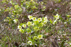 Helleborus odorus. Commonly known as hellebores, members of the genus Helleborus comprise approximately 20 species of herbaceous or evergreen perennial flowering Stock Photos
