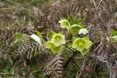 Helleborus odorus Royalty Free Stock Image