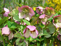 Helleborus  one of the first spring flowers. In the garden Royalty Free Stock Photos