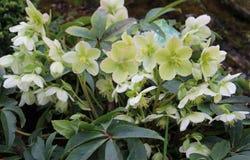 Helleborus orientalis. Blooming flowers of Christmas Rose. Bush of evergreen perennial flowering plant royalty free stock images