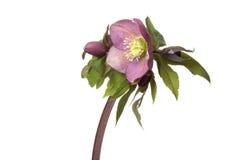 Helleborus. Purple Helleborus on white background Royalty Free Stock Images