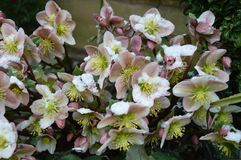 Helleborus in snow. Hellebores in the snow, late spring, UK stock photography